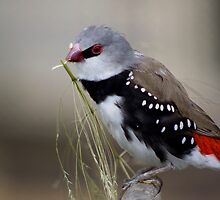 Diamond Firetail by himadhu