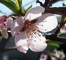 Pink Spring Blossom ~ Peach Tree by Jan  Tribe
