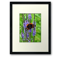 The Admiral on Blue Vervain Framed Print