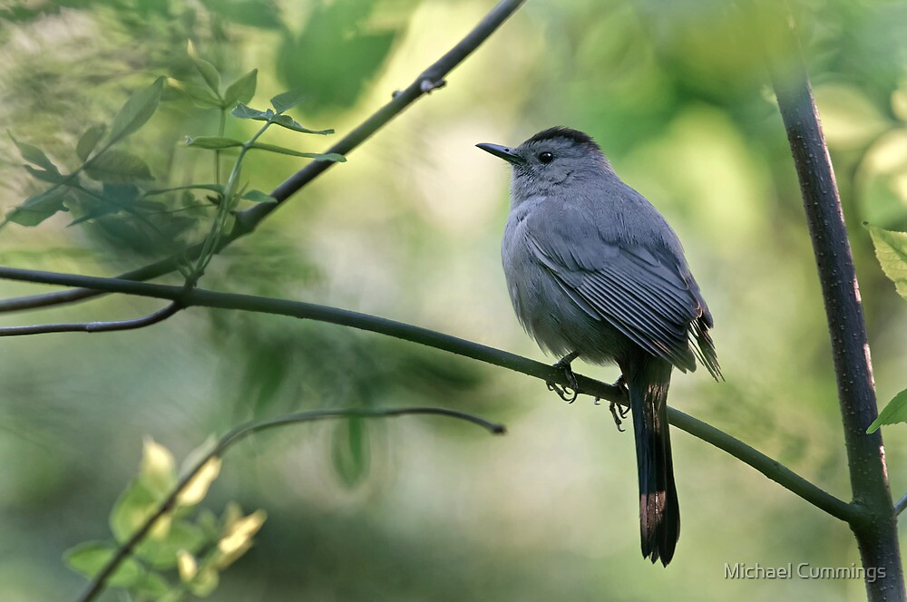 Gray Catbird - Ottawa, Ontario by Michael Cummings