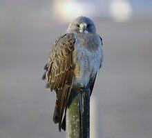 HAWK ON A FENCEPOST by SwanSong