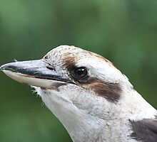 kookaburra by Steve Scully