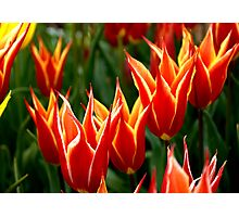 tulip-1 Photographic Print