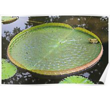 Frog on giant lily pad Poster