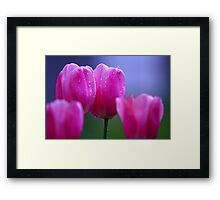 Misty Tulips Framed Print