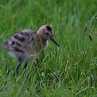 Black-tailed Godwit Chick by Anne-Marie Bokslag
