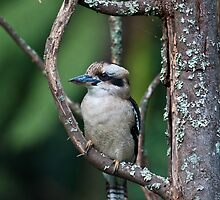 Kookaburra at Sherbrooke by Tom Newman