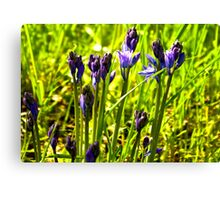 Bluebells Emerging  (late spring) Canvas Print