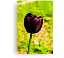 Tulip (early-May) Canvas Print