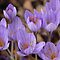 Crocus Delight by coffeebean
