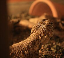 Spiny Tail Lizard    VIVARIUM, Universitatea Babes Bolyai, Cluj-Napoca by Elisabeta Stan