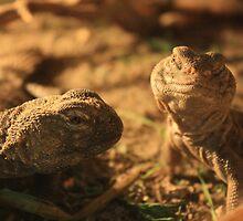 Spiny Tail Lizard      mascul(stânga) şi femelă(dreapta) by Elisabeta Stan