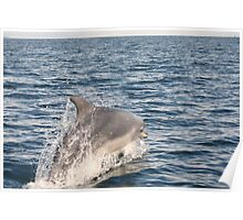 Bottle Nose Dolphin in Moray Firth Poster