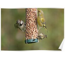 Finches feeding Poster