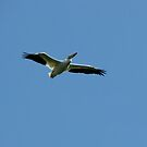 The American White Pelican by swaby