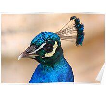 Peacock shine Poster