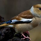 Hawfinch( Female) by Daniel Rosselló