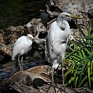 A Pair of Egrets by Xcarguy