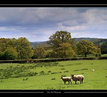 Field of sheeps view by Chris Bird