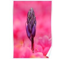 Bluebell in a Sea of Pink Poster
