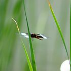 Dragon Fly  by rondabusscher