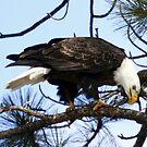 Bald Eagle on Sweathouse Creek by amontanaview