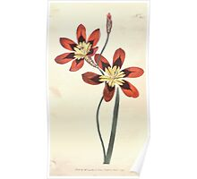 The Botanical magazine, or, Flower garden displayed by William Curtis V11 V12 1797 1798 0046 Ixia Tricolor Three Colored Ixia Poster