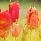 Sunburst Tulips by JohnDSmith