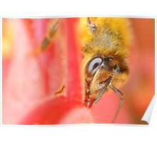 Bee on Grevillea Poster
