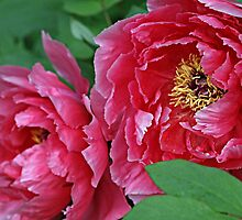 Pink Peonies by Monnie Ryan