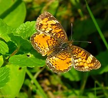 Pearly Crescent Butterfly by MarianBendeth