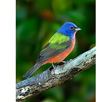 Painted Bunting Photographic Print