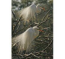 Double Egret Photographic Print