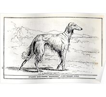 All about dogs a book for doggy people Charles Henry Lane 1900 0317 Afghan Greyhound_jpg Poster