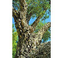 Cork Tree Photographic Print
