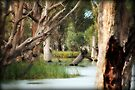 ~River Gums on the Murray~ by Lynda Heins