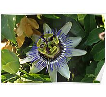 """"""" Passion Flower for Giggles """" Poster"""