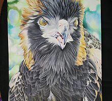 Black Breasted Buzzard Part 1 by Lyrebird