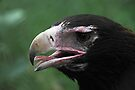 Australian Wedge-tailed Eagle Portrait #1. by Carole-Anne