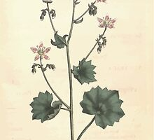 The Botanical magazine, or, Flower garden displayed by William Curtis V11 V12 1797 1798 0136 Saxifraga Rotundifolia Round Leaved Saxifrage by wetdryvac