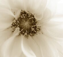 Sepia Dahlia by gypsygirl