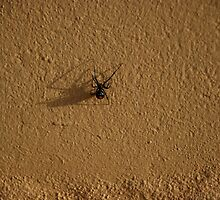 Redback Spider - Kata Tjuta National Park by Koalaphoto