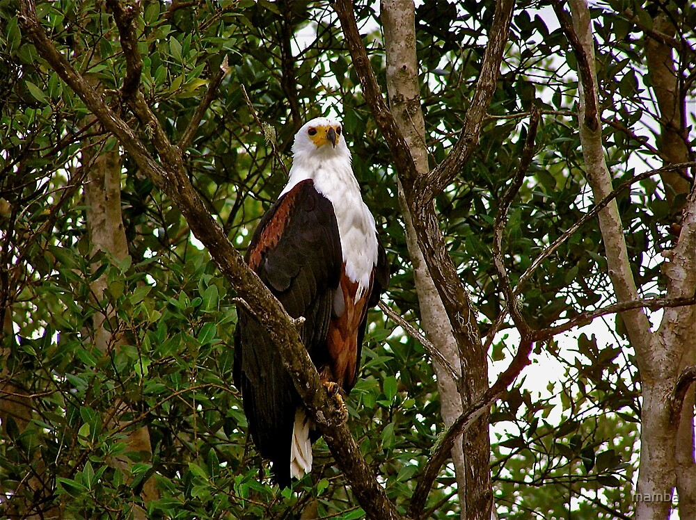 African Fish Eagle by mamba