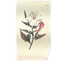 The Botanical magazine, or, Flower garden displayed by William Curtis V13 V14 1799 1800 0085 Oenothera Tetraptera White Flowered Oenothera Poster