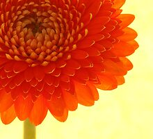 Orange Chrysanthemum by Mia Rose