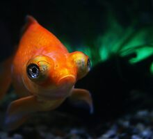 Pet gold fish in fish tank by jegi52001