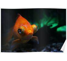 Pet gold fish in fish tank Poster