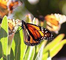 Butterfly lights by Steve Chapple