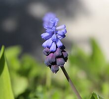 Grape Hyacinths by hummingbirds