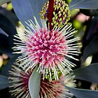Hakea flower by john  Lenagan